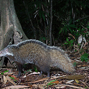 The crab-eating mongoose (Herpestes urva) is a mongoose species ranging from the northeastern Indian subcontinent to Southeast Asia, southern China and Taiwan.