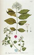 Hand painted botanical study of a Aegiphila martinicensis plant anatomy from Fragmenta Botanica by Nikolaus Joseph Freiherr von Jacquin or Baron Nikolaus von Jacquin (printed in Vienna in 1809)