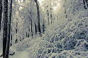 Beech forest covered with snow in the mountain at winter time