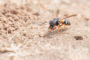 Purbeck mason wasp (Pseudepipona herrichii) excavating nest burrow on heathland. Dorset, UK.