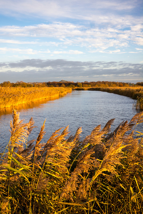 Reeds and grasses on marshes at the Somerset Levels wildlife nature reserve in low winter sunlight, Somerset, United Kingdom
