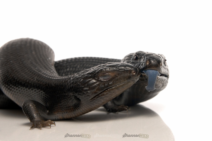 Melanistic Eastern Blue Tongue Skinks (Tiliqua scincoides scincoides) on white