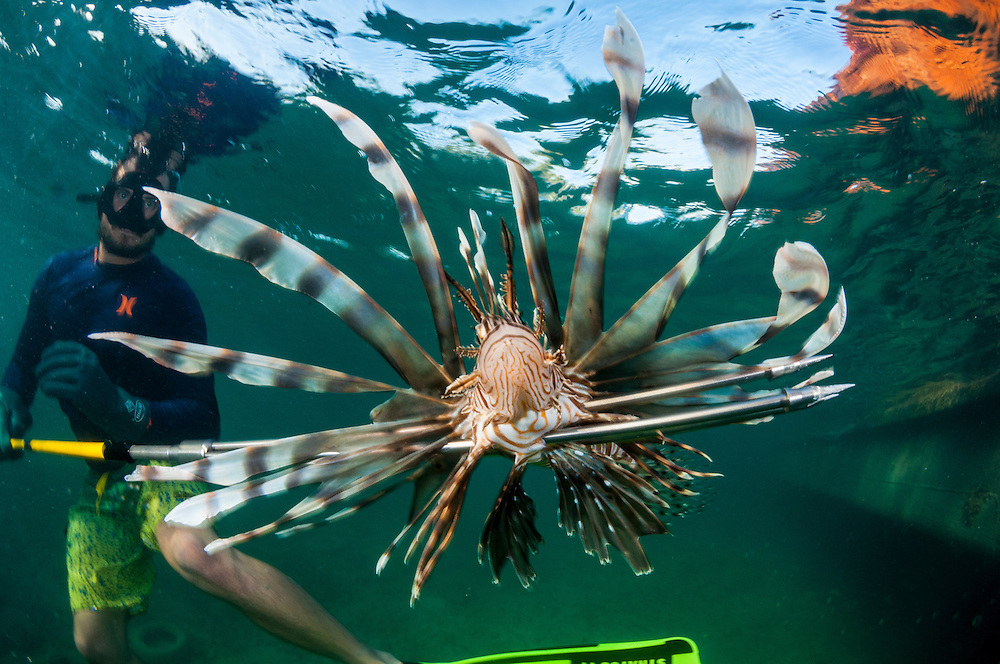 A lionfish is brought to the surface by lionfish derby entrant Stewart Pinder.