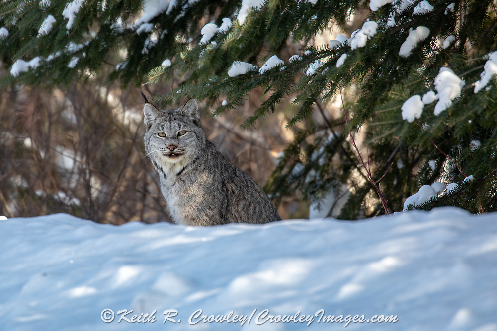 Canada lynx peering from beneath a spruce tree in winter.