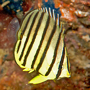 Eight Banded Butterflyfish inhabit reefs. Picture taken Anilao, Philippines.