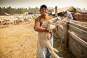 "05 JUNE 2011 - GREER, AZ: Hugo Tongora (CQ) carries a shorn sheep away from the shearing tent at the Sheep Springs Sheep Co summer shearing camp northwest of Greer Sunday. Mark Pedersen (CQ), of Sheep Springs Sheep Co, said they drove about 2,000 sheep from Chandler up to their summer pastures near Greer. They were supposed to start shearing on Friday, but didn't start till Friday because of the Wallow Fire. They also run cattle on land southeast of the sheep pasture, closer to Greer. Pedersen said they were prepared to move both the cattle and the sheep if they had to. He said the biggest problem with the smoke was that it bothered the sheeps' lungs much the same way it bother people's lungs. The fire grew to more than 180,000 acres by Sunday with zero containment. A ""Type I"" incident command team has taken command of the fire. PHOTO BY JACK KURTZ"