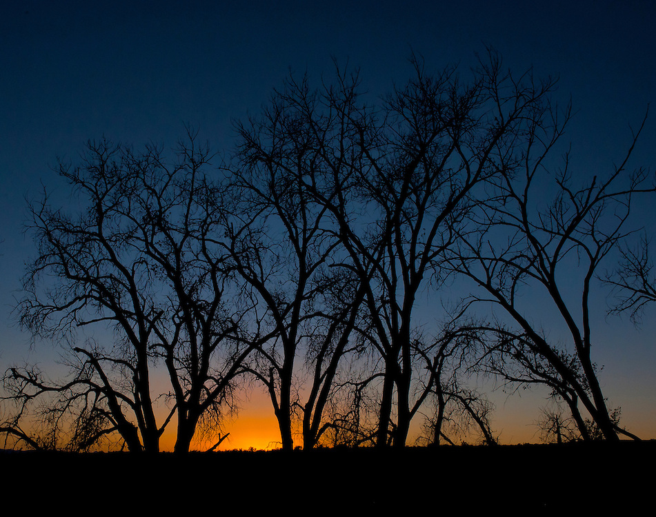Cottonwood trees on the Chico Basin Ranch are silhouetted against the glow of a sunset sky