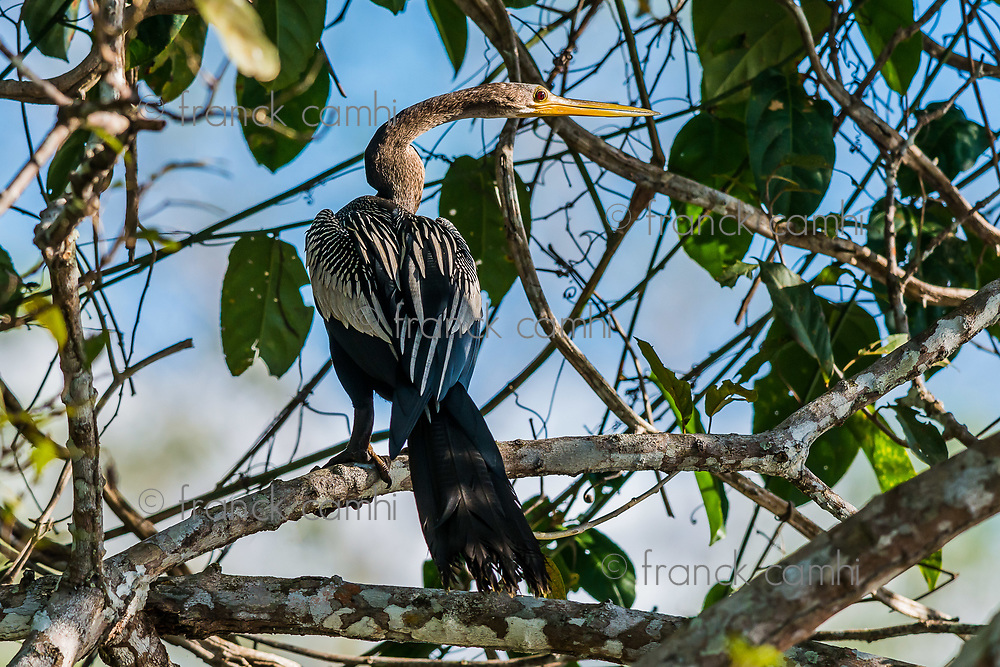 Anhinga standin on branch in the peruvian Amazon jungle at Madre de Dios Peru
