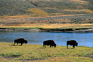 Buffalo herd grazing by stream in fall in the Hayden Valley, Yellowstone National Park, WYOMING