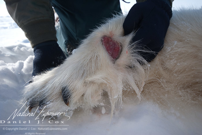 A large, fleshy wound on a male polar bear (Ursus maritimus) on the Beaufort Sea ice pack. Kaktovik, Alaska.