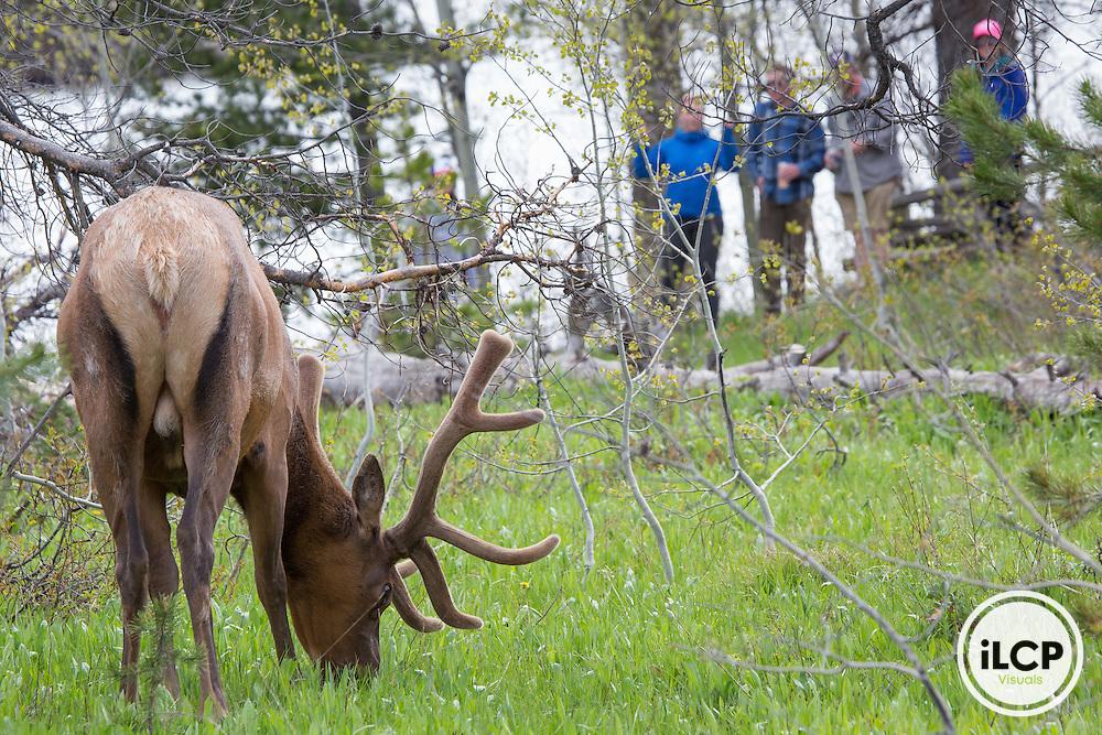 An elk in Grand Teton National Park, Wyoming.