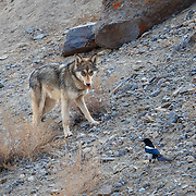 Tibetan Wolf photographed in Ladakh, India.
