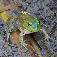 Close-up portrait of an American bullfrog (Rana catesbeiana), Huntley Meadows Park, Alexandria, Virginia.
