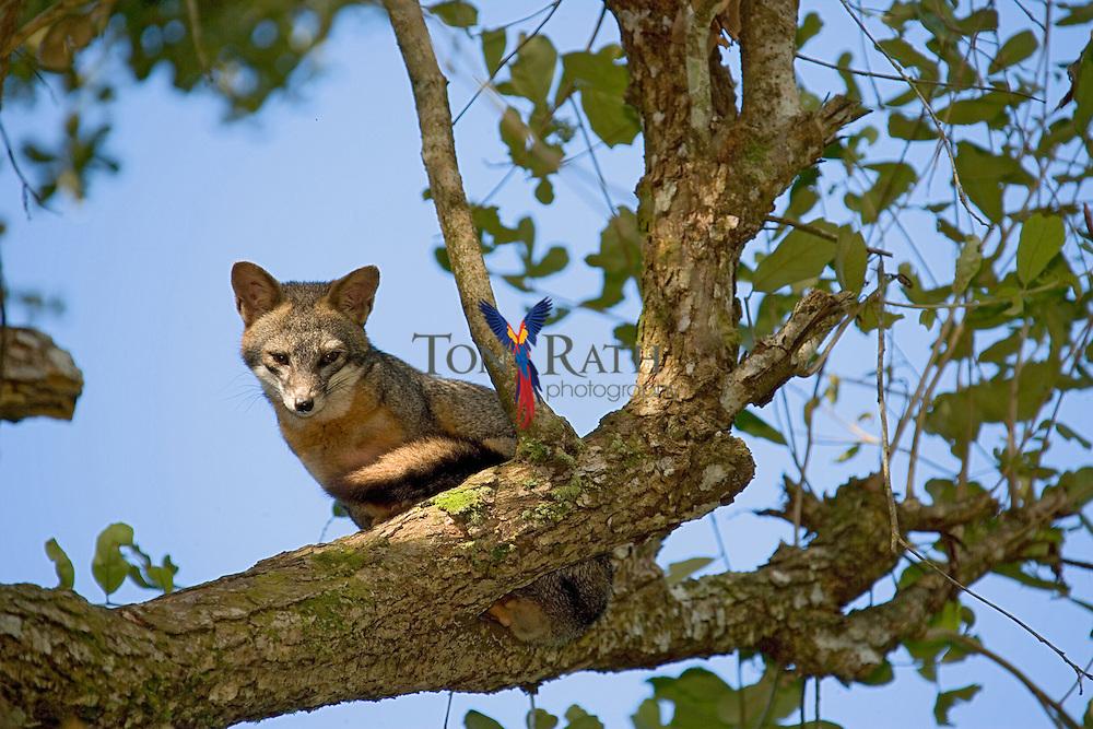 Grey Fox (Urocyon cinereoargenteus), Belize Zoo, Belize, Central America