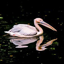 Pelicano-branco (Pelecanus onocrotalus). Registro feito em 2009. Animal em Cativeiro.<br /> <br /> <br /> ENGLISH: great white pelican. Picture made in 2009. Captive animal.