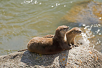 A Northern River Otter adult warms in the sun with one of its young.