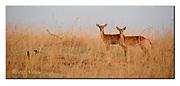 Kob antelopes from Murchinson National Park, Uganda. Nikon D700, 200-400mm @ 360mm, f5, 1/320sec, ISO500, Manual modus