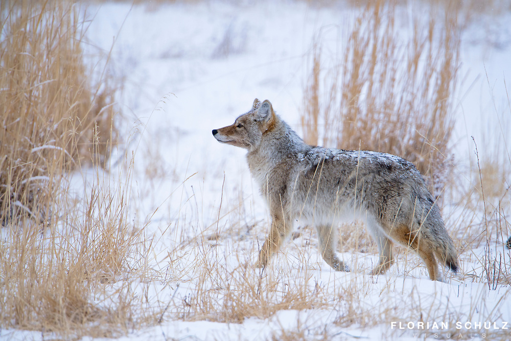 Coyote in snow, Yellowstone National Park.