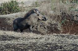 24-10-2008 REPORTAGE: KILIMANJARO CHALLENGE 2008: TANZANIA <br /> De dag van De Ngorongoro-krater, de grootste intakte caldera (ingestorte vulkaankegel) ter wereld. Hij bevindt zich ten noordwesten van Arusha in Tanzania / Wild, dieren, Natuur, vogels, Knobbelzwijn<br /> ©2008-FotoHoogendoorn.nl