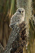A juvenile barred owl waits on his favorite perch for its parents to return with food in the late afternoon.