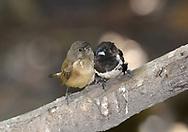 Bronze Mannakin - Lonchura cucullata<br /> male and female