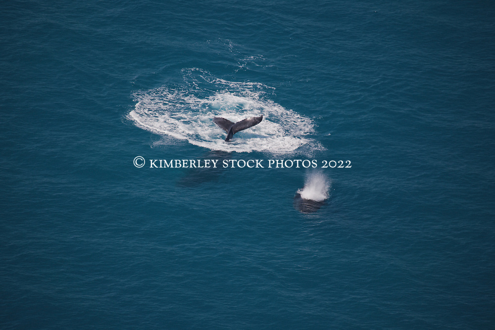 A humpback whale cow and calf surface near Talboy's Rocks, north of Broome.