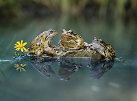 Three frogs sitting on rock