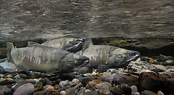Male chum salmon make their way up the special spawning channel of Herman Creek to spawn with female chum salmon during the fall chum salmon run. The nonprofit Northern Southeast Regional Aquaculture Association, Inc. (NSRAA) built the channel to collect wild broodstock by harvesting spawning female and male salmon for their eggs and milt. <br /> <br /> These chum salmon are returning to freshwater Herman Creek after three to five years in the saltwater ocean. Spawning only once, chum salmon die approximately two weeks after they spawn. Both sexes of adult chum salmon change colors and appearance upon returning to freshwater. Unlike male sockeye salmon which turn bright red for spawning, male chum salmon change color to an olive green with purple and green vertical stripes. These vertical stripes are not as noticeable in females, who also have a dark horizontal band. Both male and female chum salmon develop hooked snout (type) and large canine teeth. These features in female salmon are less pronounced. <br /> <br /> Herman Creek is a tributary of the Klehini River and is only 10 miles downstream of the area currently being explored as a potential site of a copper and zinc mine. The exploration is being conducted by Constantine Metal Resources Ltd. of Vancouver, British Columbia along with investment partner Dowa Metals &amp; Mining Co., Ltd. of Japan. Some local residents and environmental groups are concerned that a mine might threaten the area&rsquo;s salmon. Of particular concern is copper and other heavy metals, found in mine waste, leaching into the Klehini River and the Chilkat River further downstream. Copper and heavy metals are toxic to salmon and bald eagles.<br /> <br /> Chilkat River and Klehini River chum salmon are the primary food source for one of the largest gatherings of bald eagles in the world. Each fall, bald eagles congregate in the Alaska Chilkat Bald Eagle Preserve, located only three miles downriver from the area of current exploration.