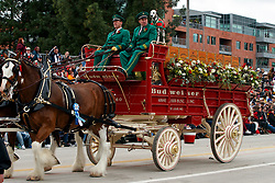 Budweiser Clydesdale Horses and Wagon with Dalmatian, 2017 Tournament of Roses Parade, Rose Parade, Pasadena, California, United States of America