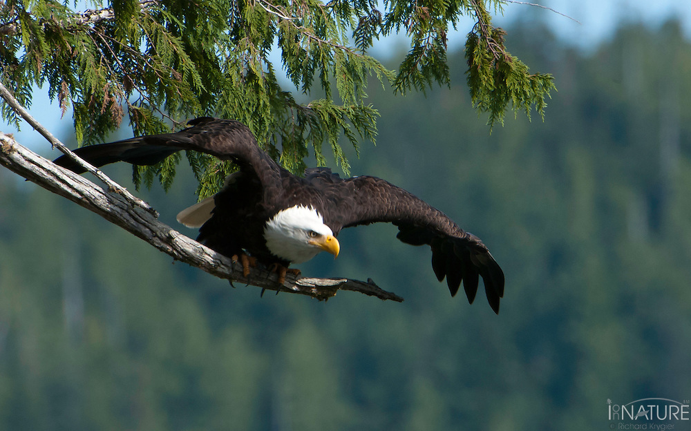 American bald eagle leaping from a cedar branch perch, wings spread.
