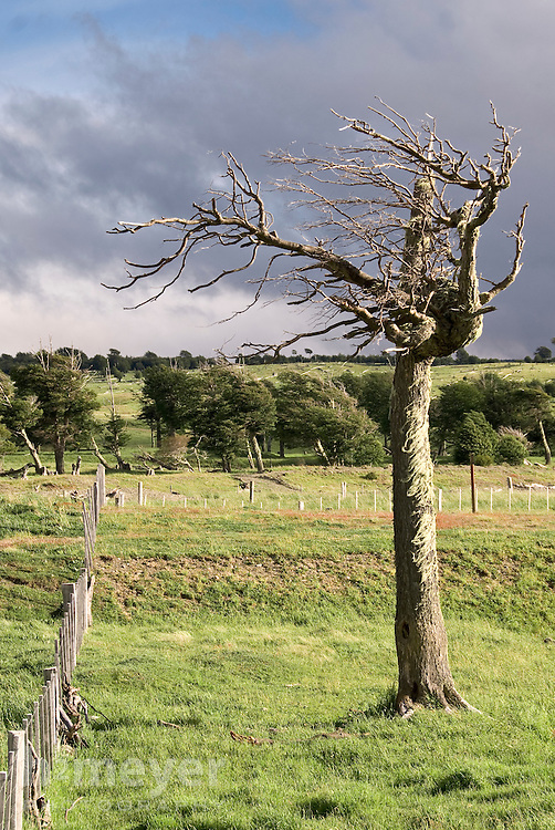 Evening light illuminates a lenga beech tree through dark storm clouds on the southern Chilean steppe.