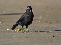 Northwestern Crow (Corvus caurinus) with sand eel