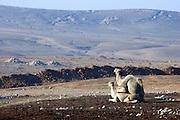 Israel, Negev Desert, Two Arabian camels (Camelus dromedarius) during copulation