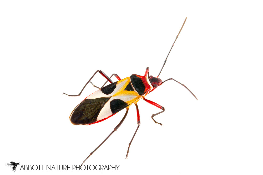 Pale Red Bug (Dysdercus concinnus)<br /> TEXAS: Hidalgo Co.<br /> Old Hidalgo Pumphouse; Hidalgo<br /> 8-Nov-2014<br /> J.C. Abbott &amp; K.K. Abbott