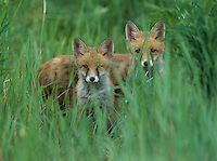Two red foxes standing in tall grass