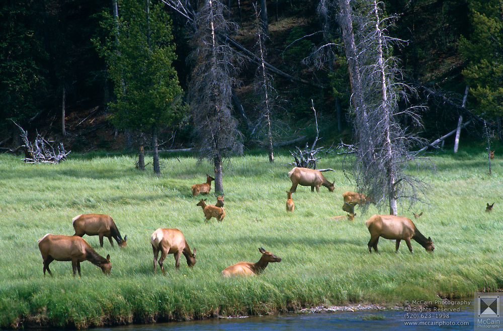 Elk (Cervus canadensis) grazing in meadow along Madison River, Yellowstone National Park, Wyoming..Subject photograph(s) are copyright Edward McCain. All rights are reserved except those specifically granted by Edward McCain in writing prior to publication...McCain Photography.211 S 4th Avenue.Tucson, AZ 85701-2103.(520) 623-1998.mobile: (520) 990-0999.fax: (520) 623-1190.http://www.mccainphoto.com.edward@mccainphoto.com.