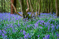 Bluebells in Weight's Wood, near Great Dixter. Hyacinthoides non-scripta syn. Scilla non-scripta, English bluebell