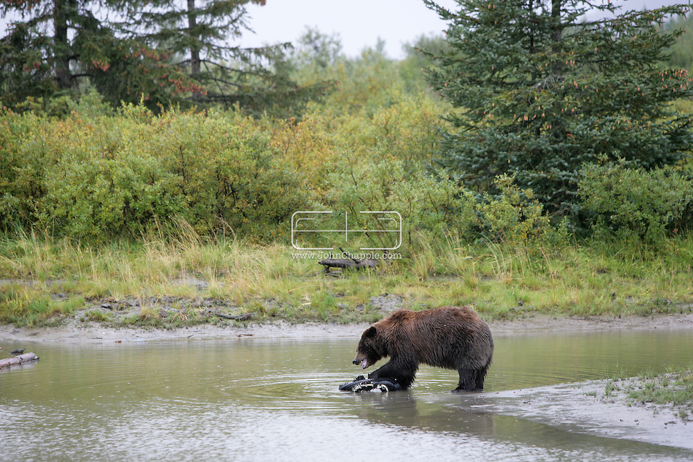 13th September 2008, Anchorage, Alaska.  A grizzly bear plays with a tyre. PHOTO © JOHN CHAPPLE / REBEL IMAGES.tel: +1-310-570-910