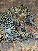 A wild leopard and her daughter in  Zambia's South Luangwa valley/ All proceeds from sale of this image go to conserving big cats in Zambia.