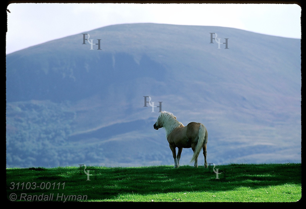 Haflinger horse stands on ridge framed by Shehy Mountain looming behind in Killarney National Park, Ireland.