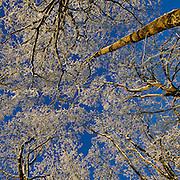 Trees covered in snow and frost with a blue sky