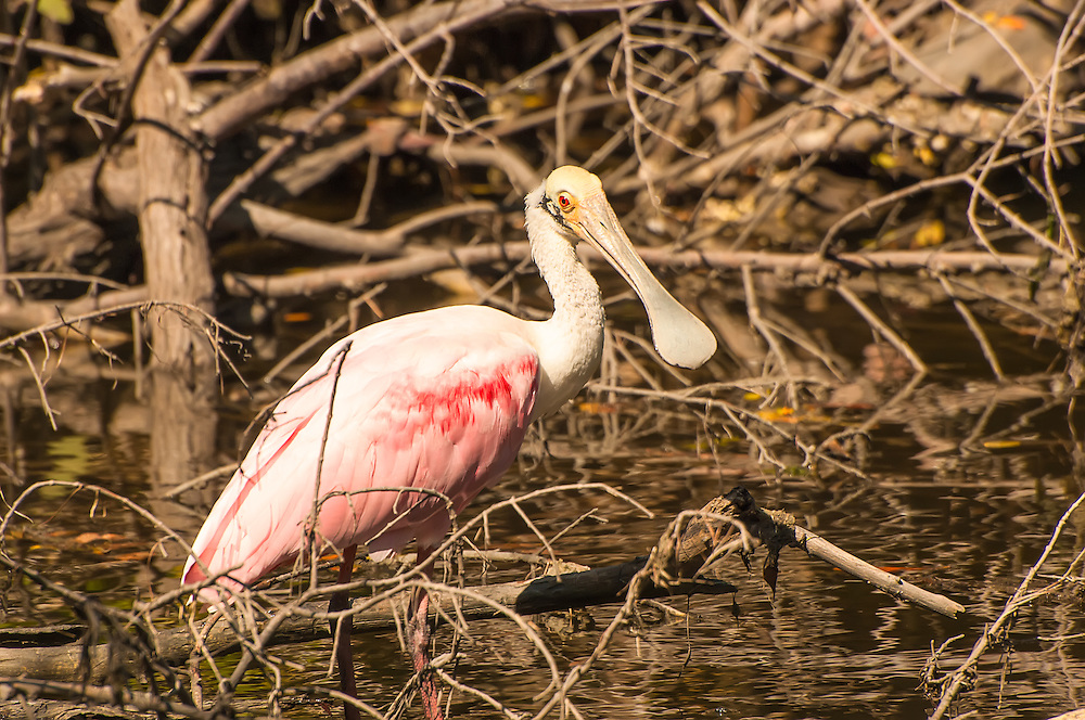 A roseate spoonbill wades through a salty mangrove marsh on Sanibel Island, Florida on a late winter morning in search of the crustaceans that give its vibrant pink color.