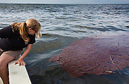 Jordan Macha, conservation organizer for the Sierra Club puts her hand in an oil patch on the surface of Barataria Bay from the BP oil spill. .