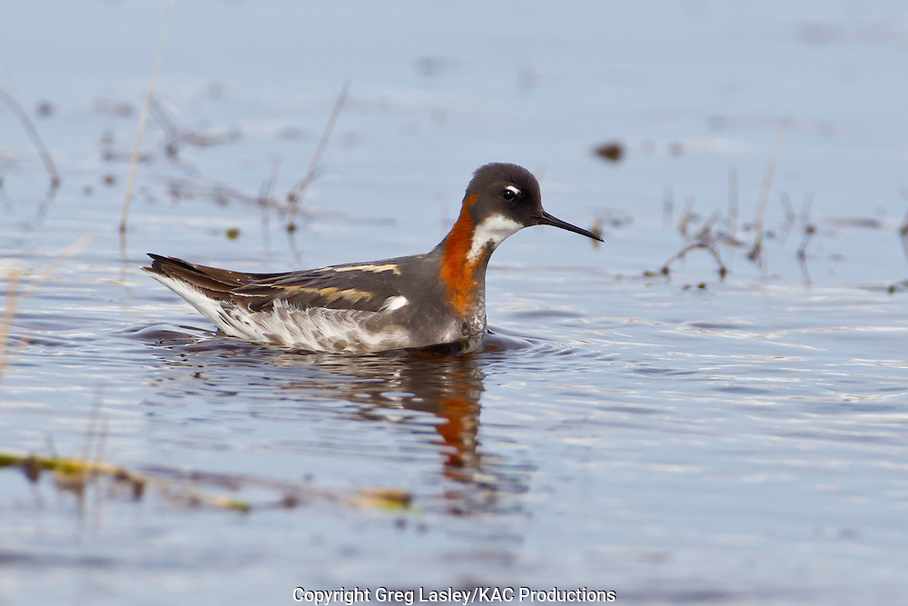 Red-necked Phalarope<br /> Phalaropus lobatus<br /> female<br /> Gambell,<br /> St. Lawrence Island,<br /> Alaska<br /> 25 May 2012
