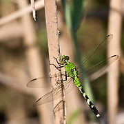 Eastern Pondhawk Dragonfly perched on a reed