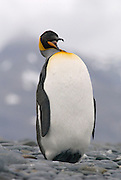 King Penguin in South Georgia is stretching and yawning while balancing on its heels. This photo is from a series of photos showing a King penguin in several different poses showing preening stretching and twisting poses.