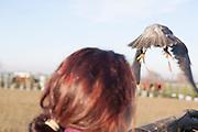Traversetolo (Parma) - scorty (Scorticus), il Falco Pellegrino di Diletta spicca il volo.