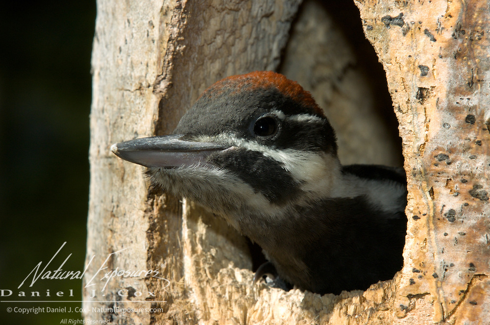Pileated woodpecker (Dryocopus pileatus) poking its head out of the nest. Montana