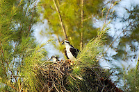 Osprey pair in a nest with young chicks in an Australian pine on Fort Myers Beach, Florida.