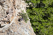Peregrine Falcon flying from the nest in Yellowstone National Park. the Peregrine Falcon is making a nice recovery from the brink of extinction.